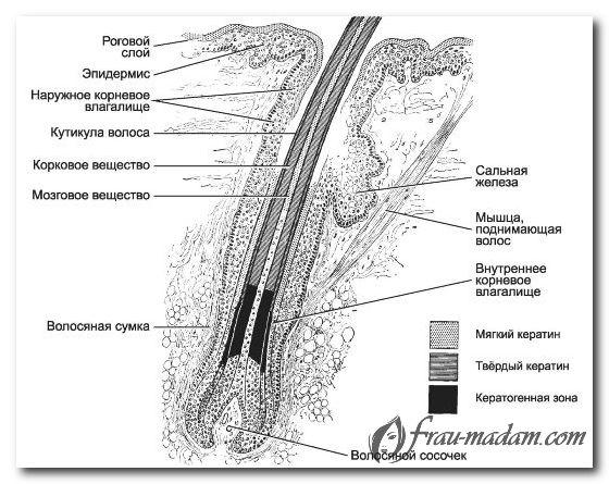 Строение волоса человека