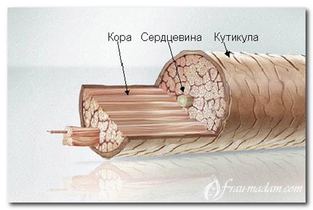 строение волоса в разрезе
