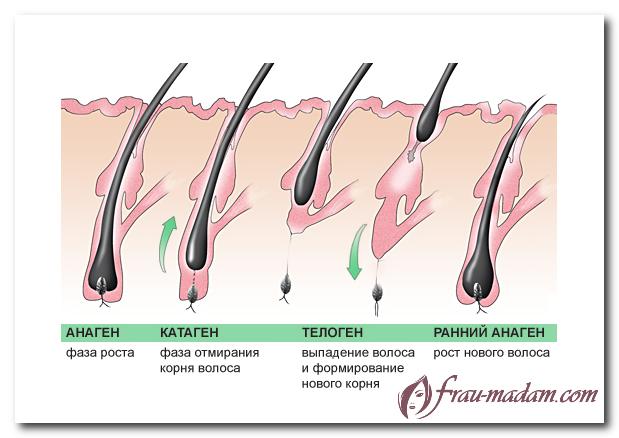 Фазы роста волос на голове