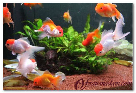 сколько рыбок нужно для аквариума по фэн-шуй