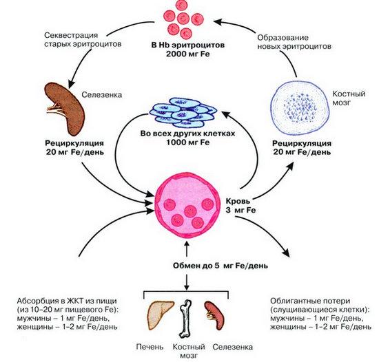 железо и анемия